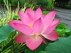 Lotus 218257 180